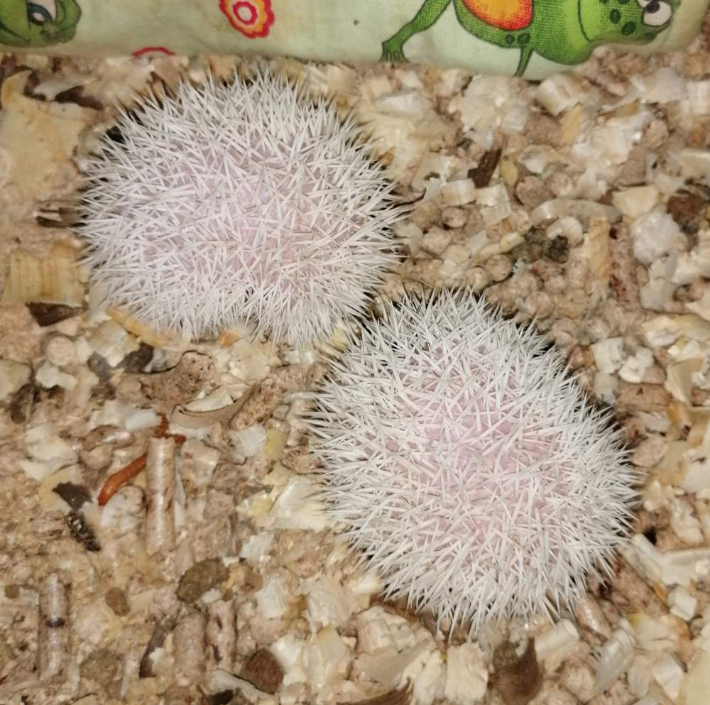 African pygmy hedgehog Pet only Atelerix albiventris Hungary, Budapest