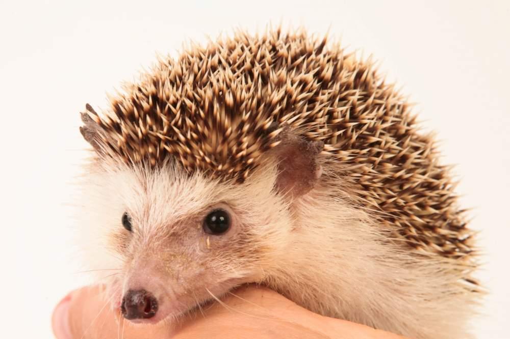 African pygmy hedgehog Deceased Atelerix albiventris Hungary, Budapest