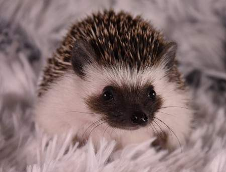African pygmy hedgehog Owned by other Atelerix albiventris