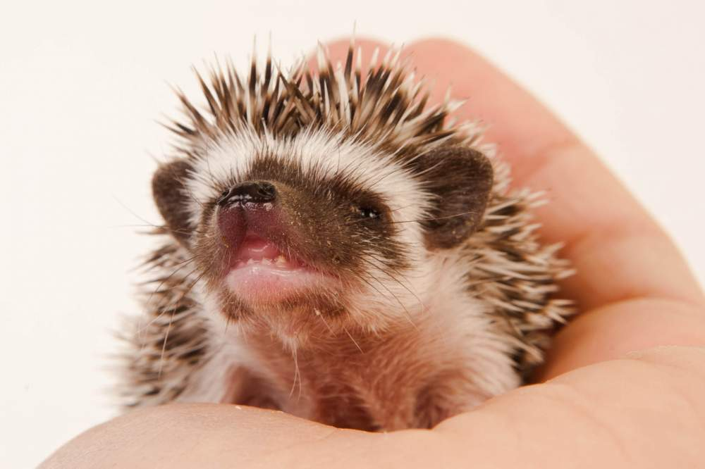 African pygmy hedgehog Rehomed Atelerix albiventris Hungary, Budapest