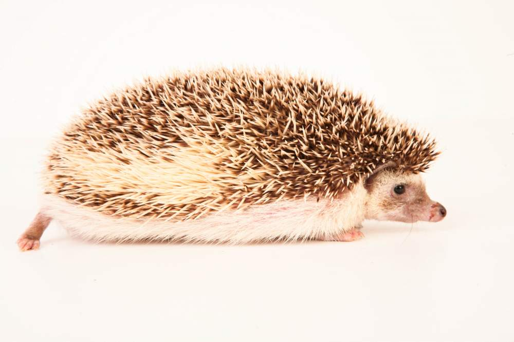 African pygmy hedgehog Retired Atelerix albiventris Hungary, Budapest