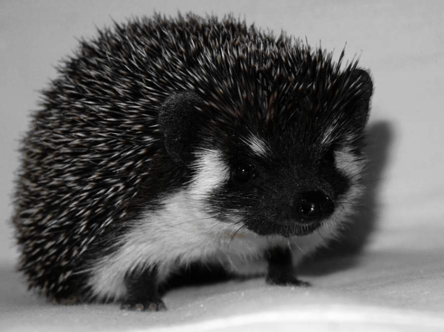 African pygmy hedgehog Owned by other Atelerix albiventris Germany