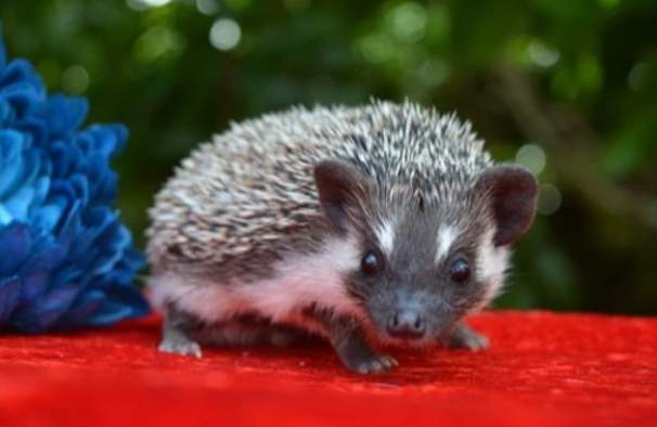 African pygmy hedgehog Owned by other Atelerix albiventris United States