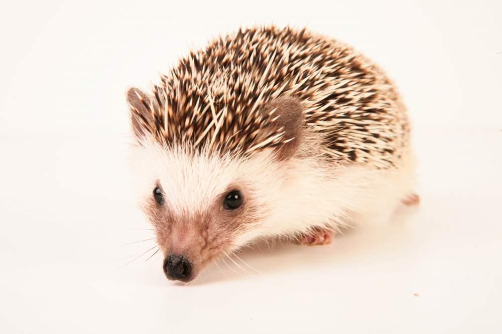 African pygmy hedgehog Retired Atelerix albiventris Hungary, Budapest