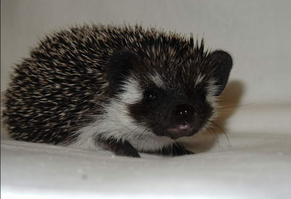 African pygmy hedgehog Owned by other Atelerix albiventris Russia