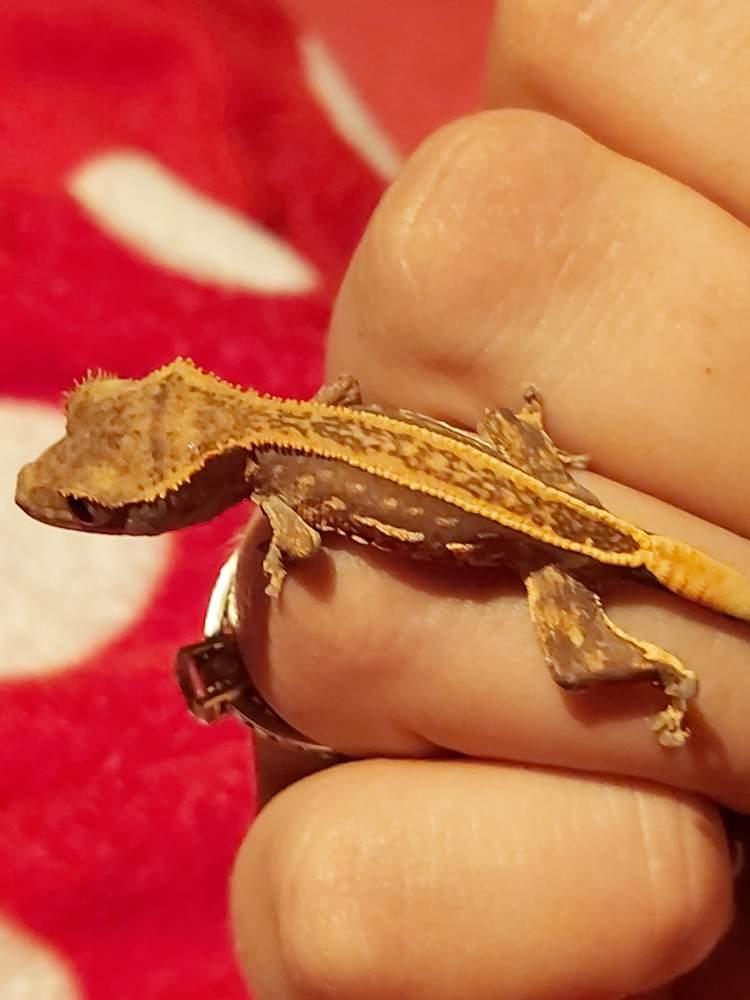 Crested gecko Pet Correlophus ciliatus
