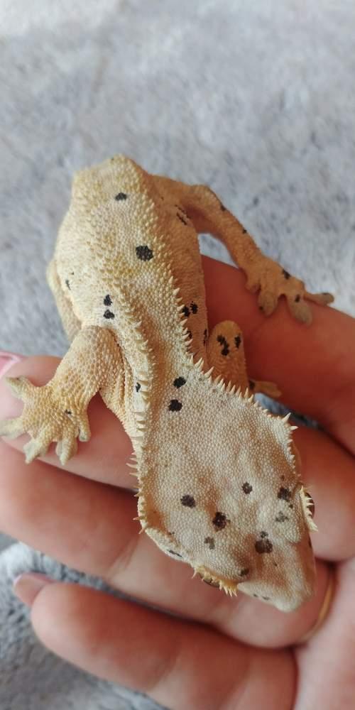 Crested gecko Rehomed Correlophus ciliatus