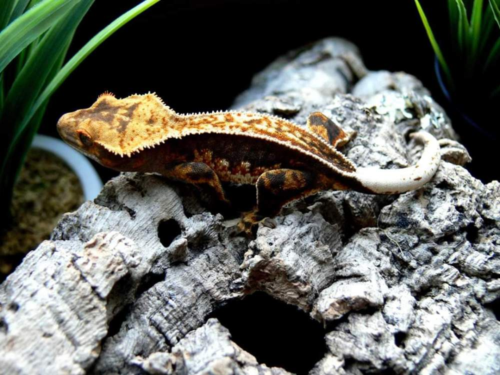 Crested gecko Pet only Correlophus ciliatus
