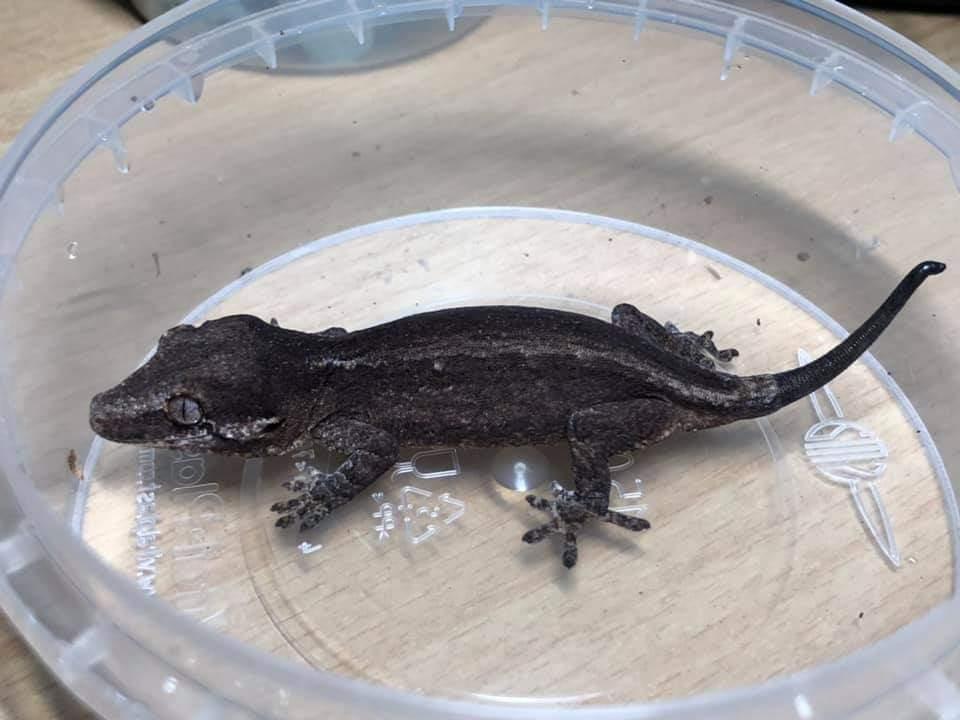 Gargoyle gecko Pet only Rhacodactylus auriculatus