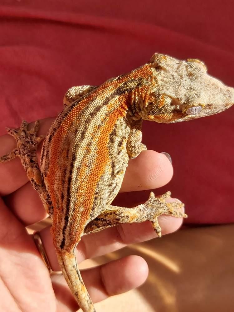 Gargoyle gecko Breeder Rhacodactylus auriculatus