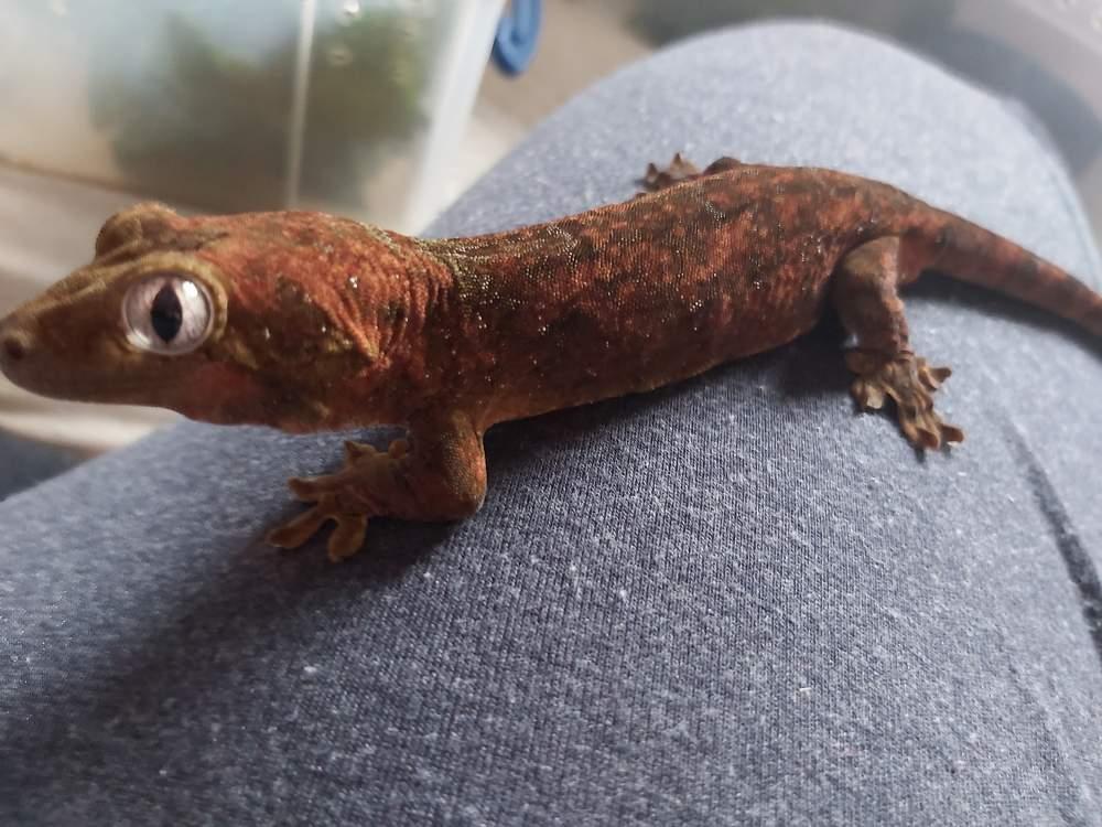 Chahoua gecko Breeder Mniarogekko chahoua