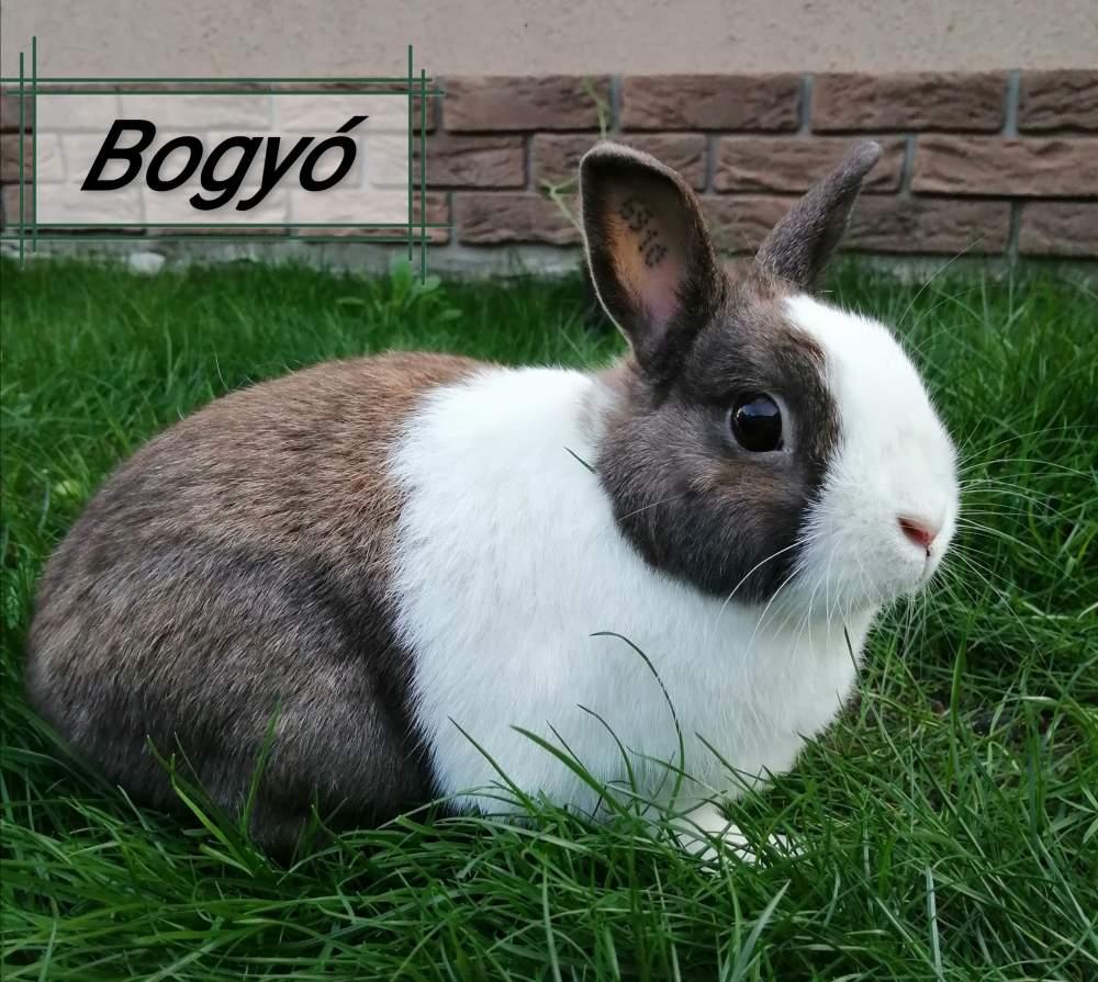 Dwarf rabbit Breeder Brachylagus idahoensis