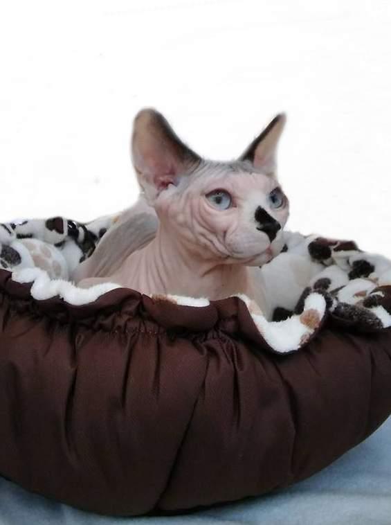 Sphynx cat Breeder Felis silvestris catus Hungary, Nagyvenyim
