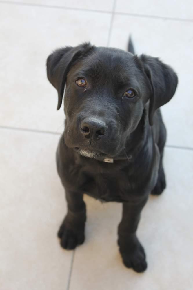 Labrador retriever Pet Canis lupus familiaris Hungary, Esztergom