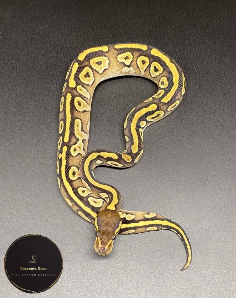 Ball python Rehomed Python regius
