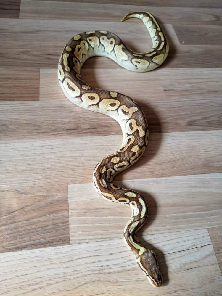 Ball python Breeder Python regius Hungary, Budapest