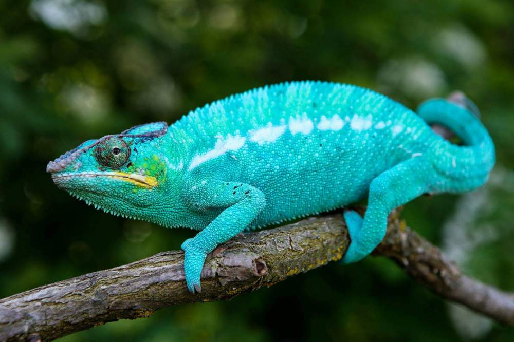 Panther chameleon Pet Furcifer pardalis