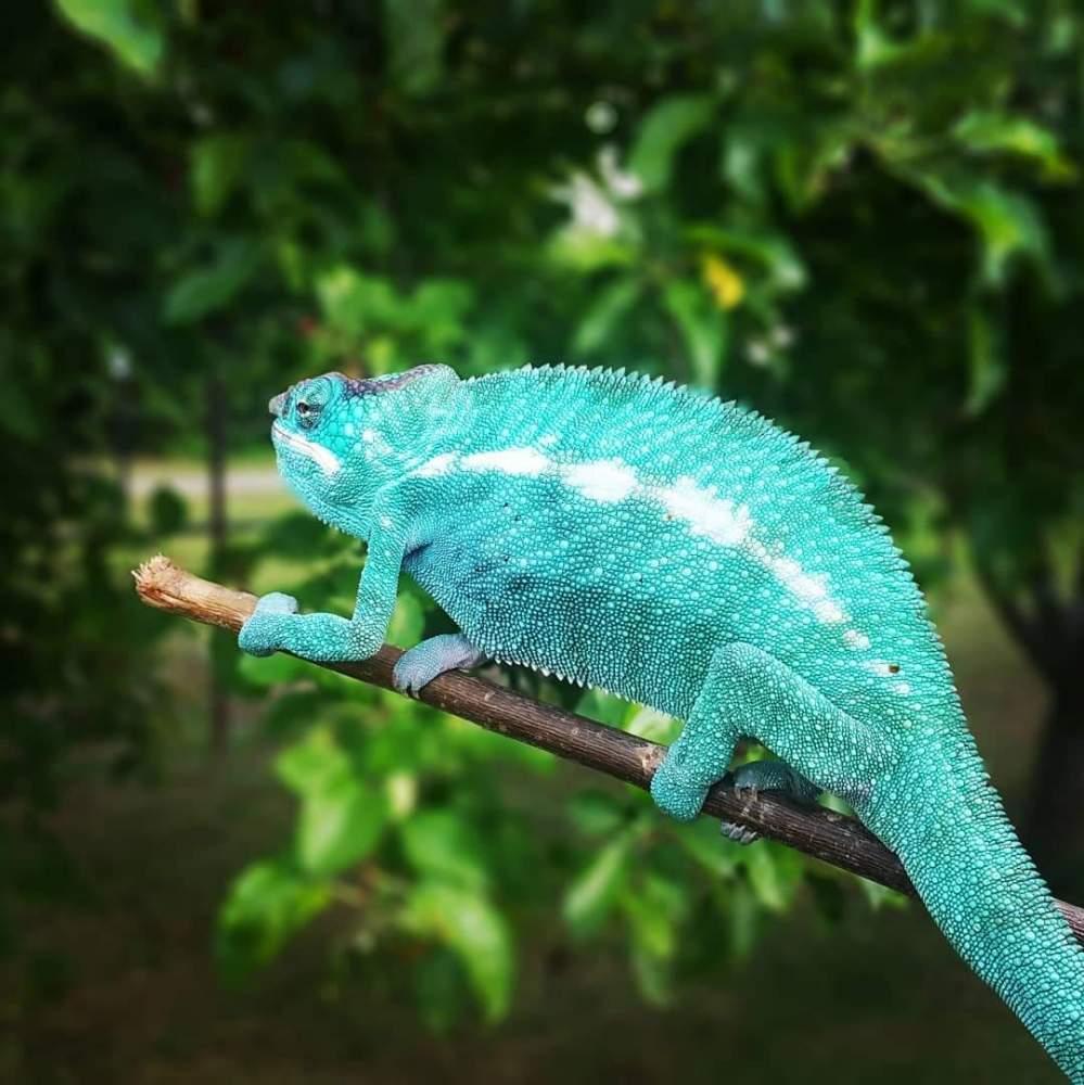 Panther chameleon Pet only Furcifer pardalis
