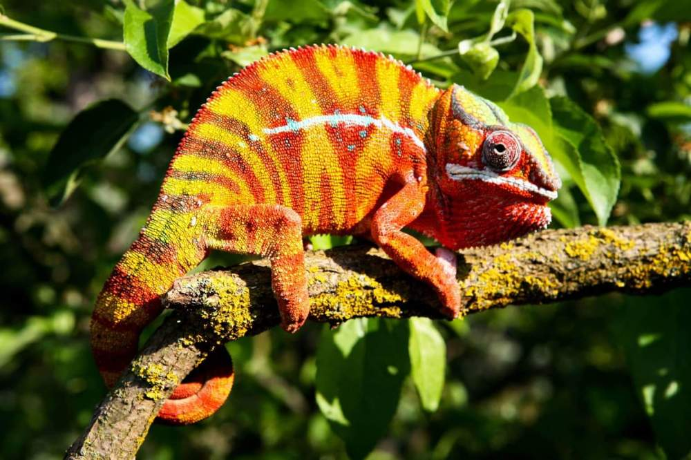 Panther chameleon Pet Furcifer pardalis