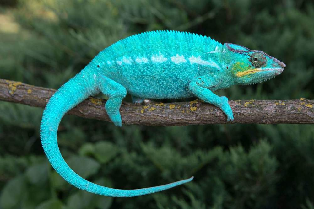 Panther chameleon Deceased Furcifer pardalis