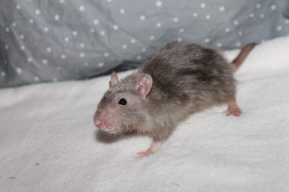 Fancy rat Pet Rattus norvegicus