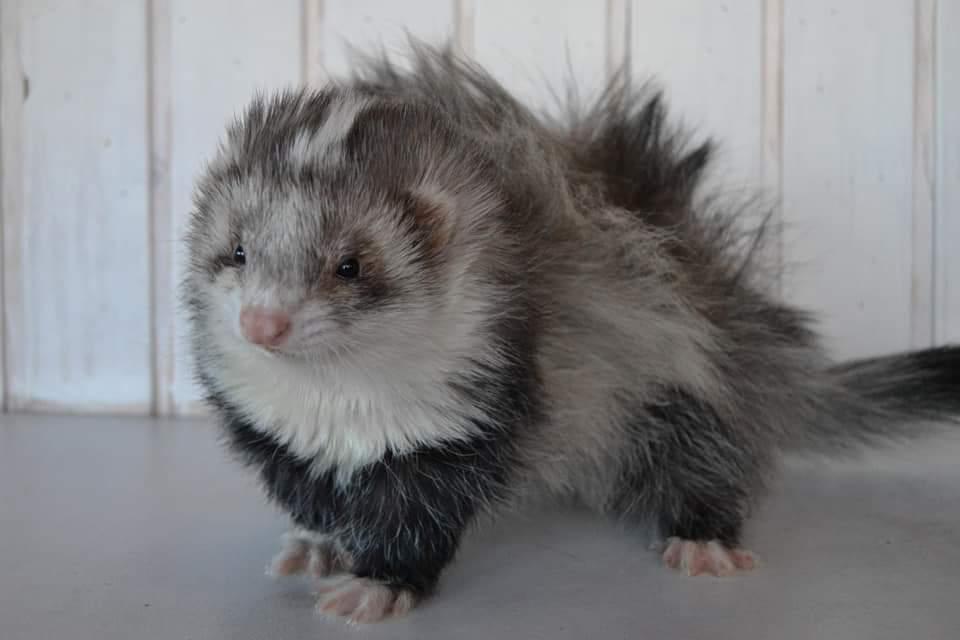 Ferret Breeder Mustela putorius