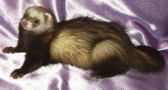Ferret Owned by other Mustela putorius