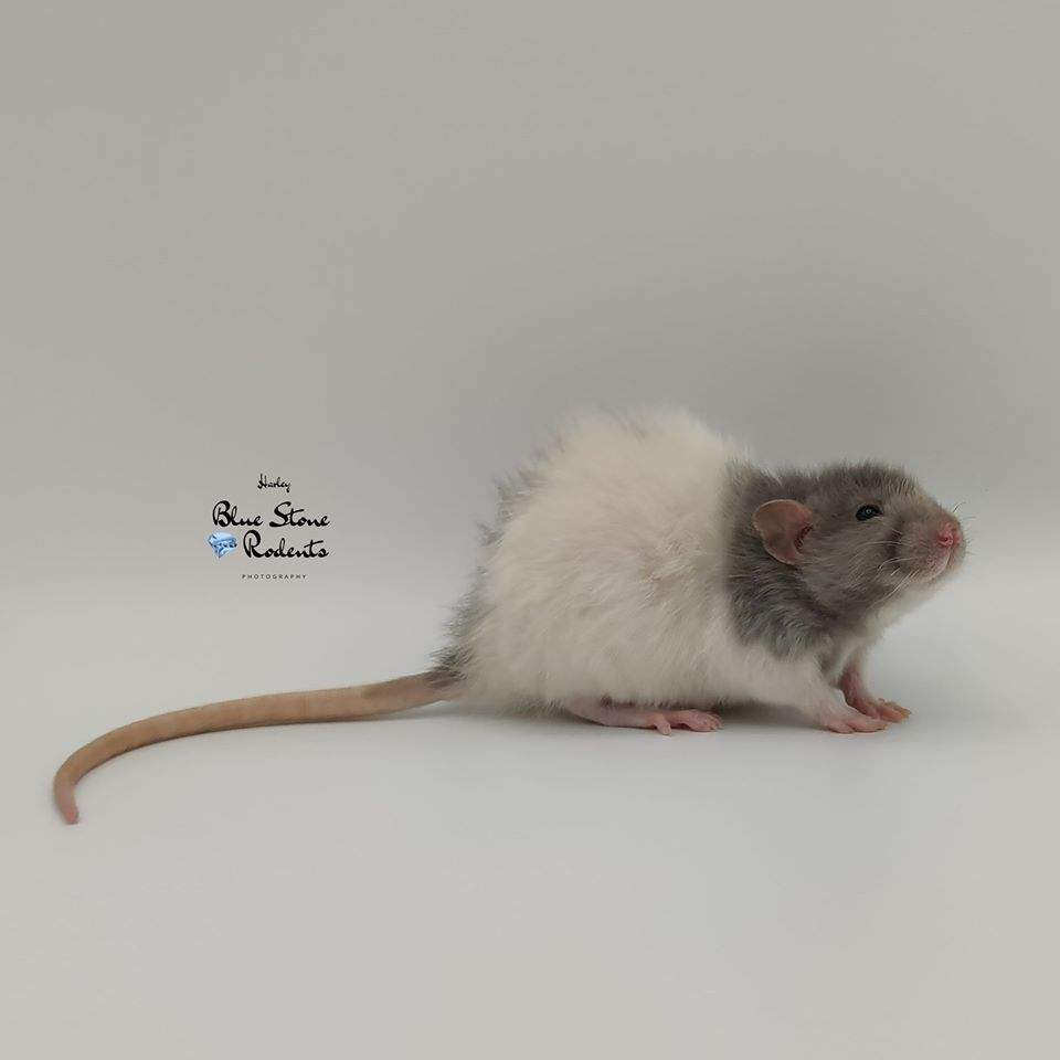 Fancy rat Breeder Rattus norvegicus