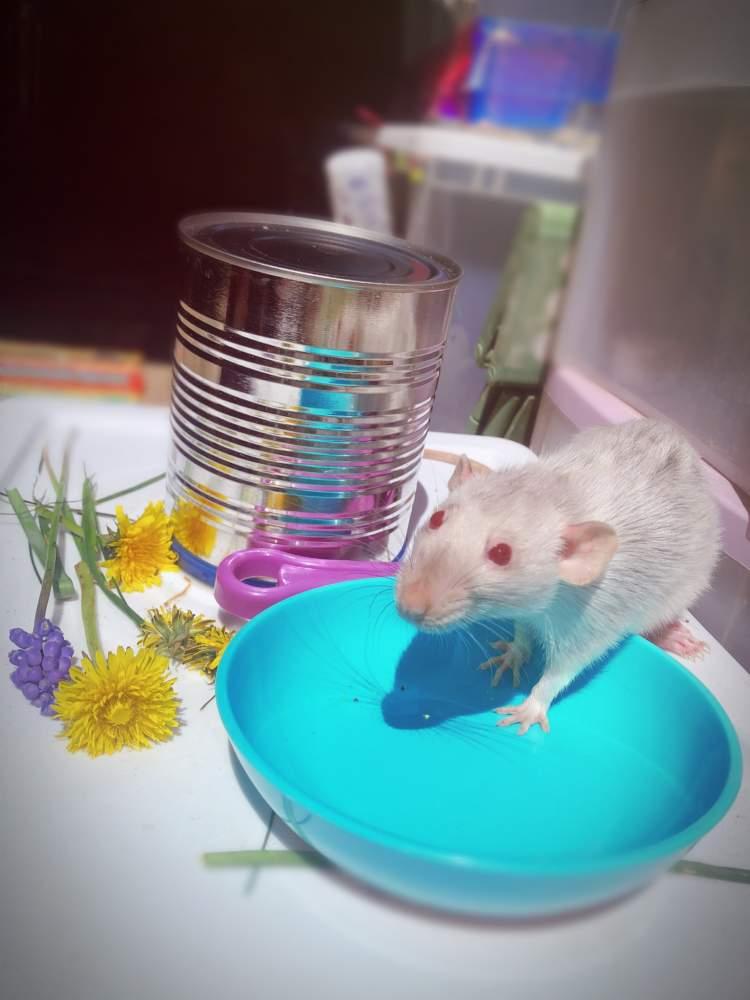 Fancy rat Pet Rattus norvegicus