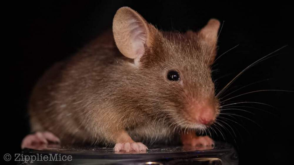 Fancy mouse Breeder Mus musculus