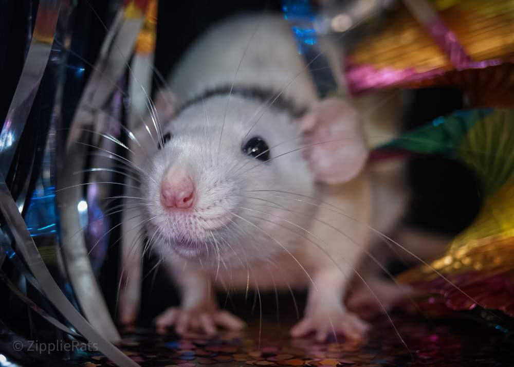 Fancy rat Wild (Observed) Rattus norvegicus