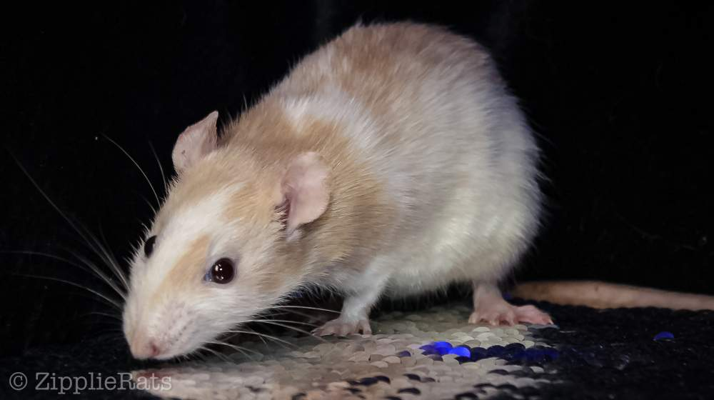 Fancy rat Pet only Rattus norvegicus