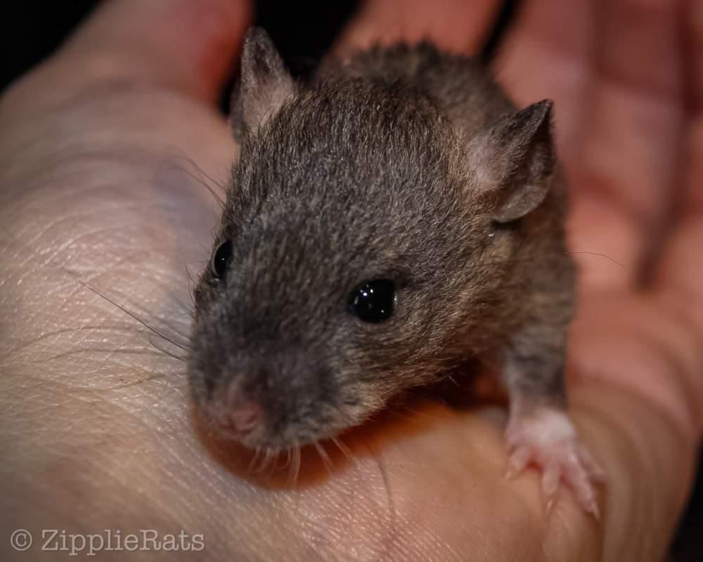 Fancy rat Wild (Observed) Rattus norvegicus