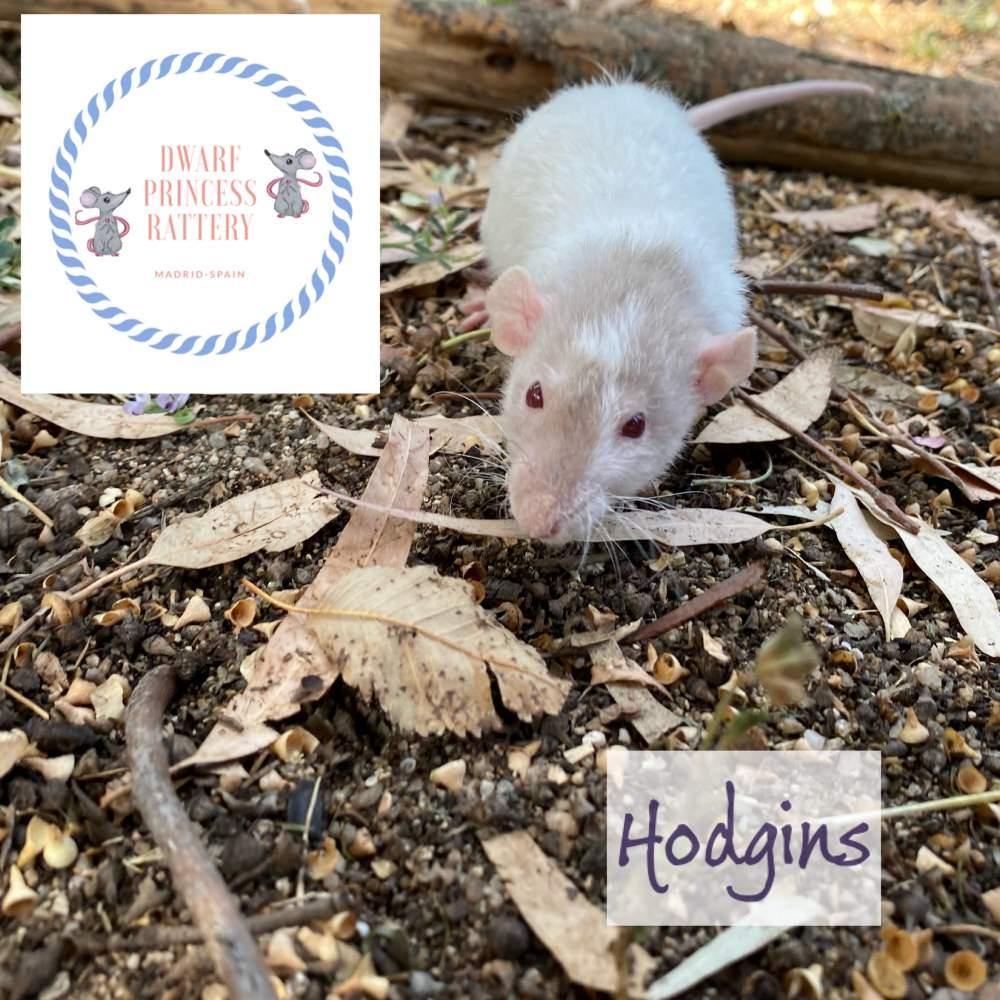 Fancy rat Breeder Rattus norvegicus Switzerland