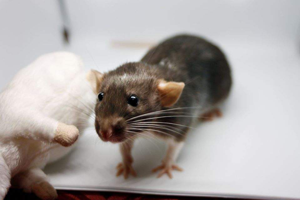 Fancy rat Retired Rattus norvegicus