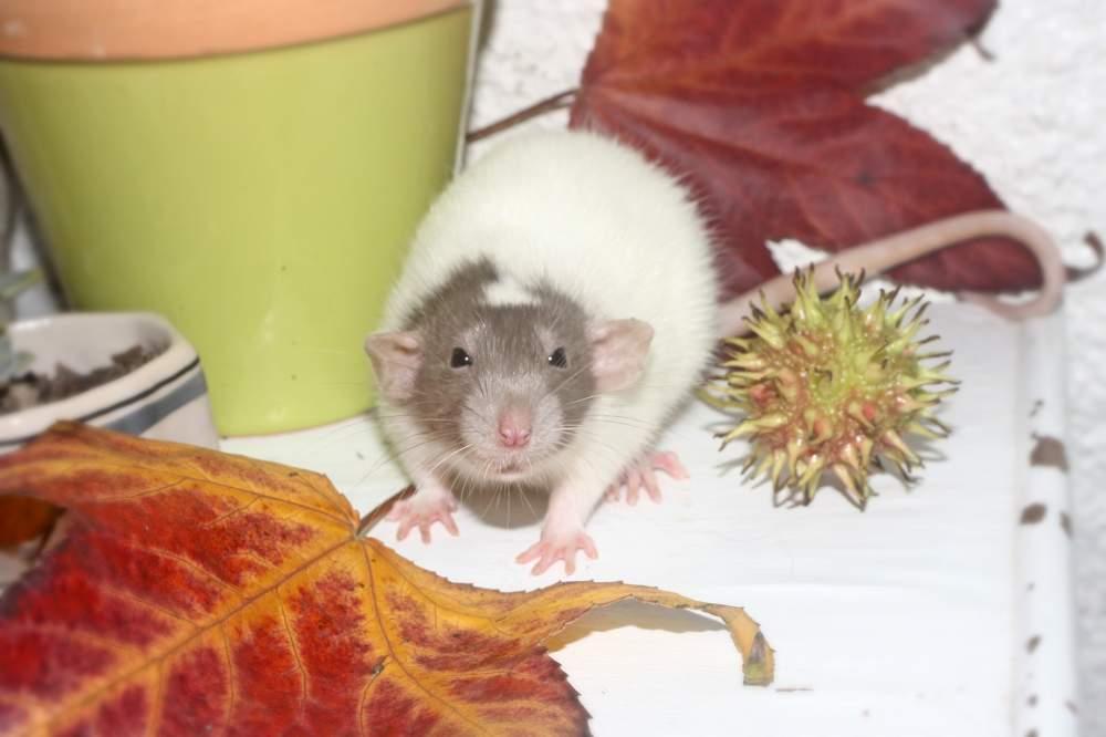 Fancy rat Breeder Rattus norvegicus