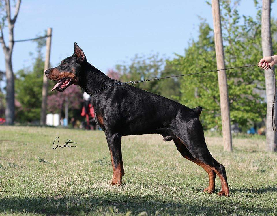 Dobermann Pet only Canis lupus familiaris