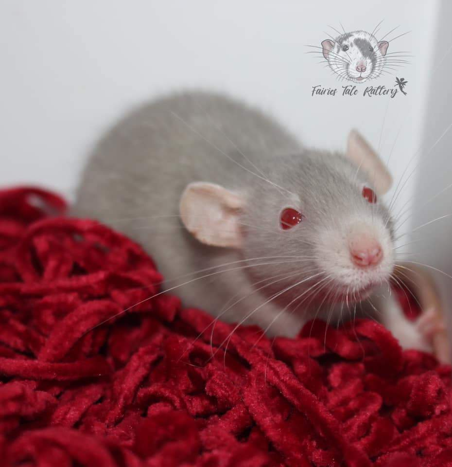 Fancy rat Available for rehoming Rattus norvegicus