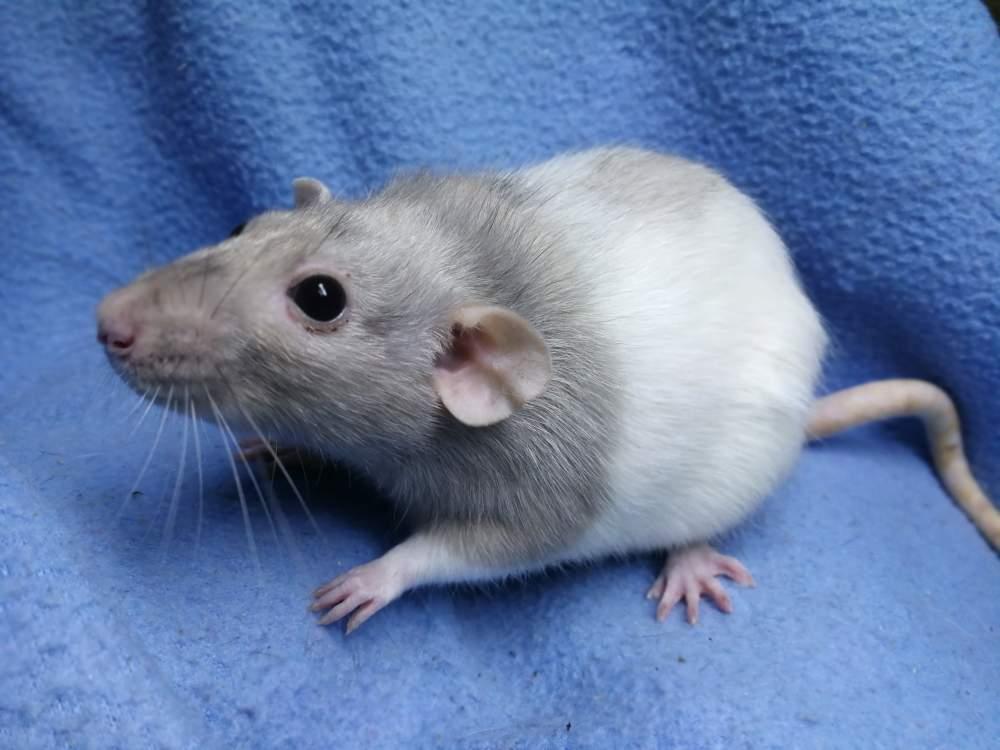 Fancy rat Rehomed Rattus norvegicus