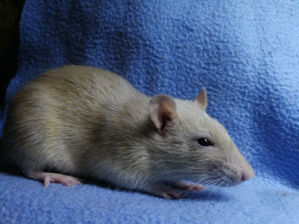 Fancy rat Rehomed Rattus norvegicus
