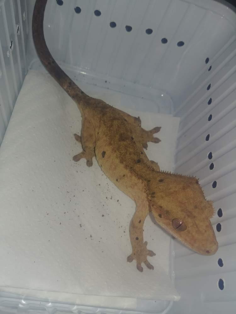Crested gecko Breeder Correlophus ciliatus