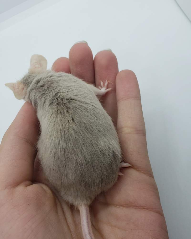 Fancy mouse Retired Mus musculus