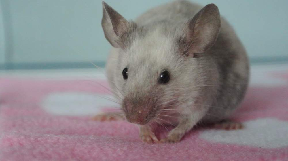 Fancy mouse Pet only Mus musculus