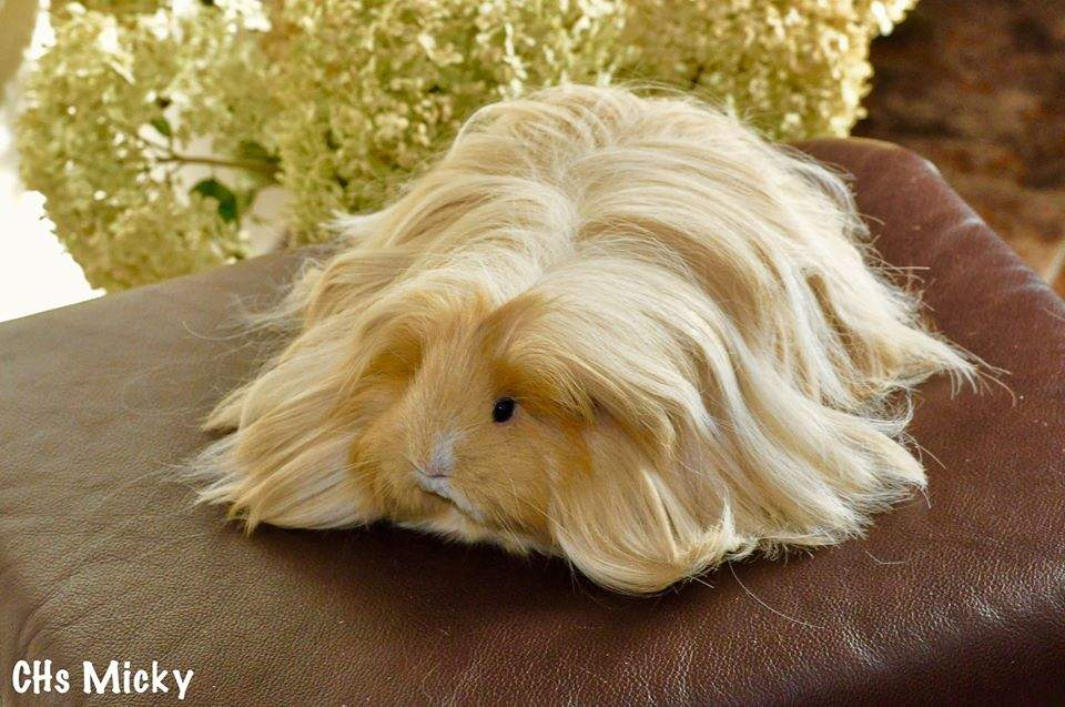 Sheltie guinea pig Owned by other Cavia porcellus