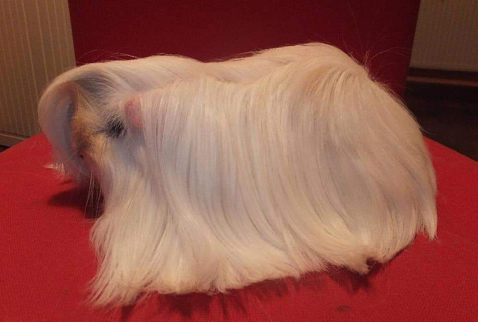 Peruvian guinea pig Owned by other Cavia porcellus
