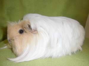 Coronet guinea pig Owned by other Cavia porcellus