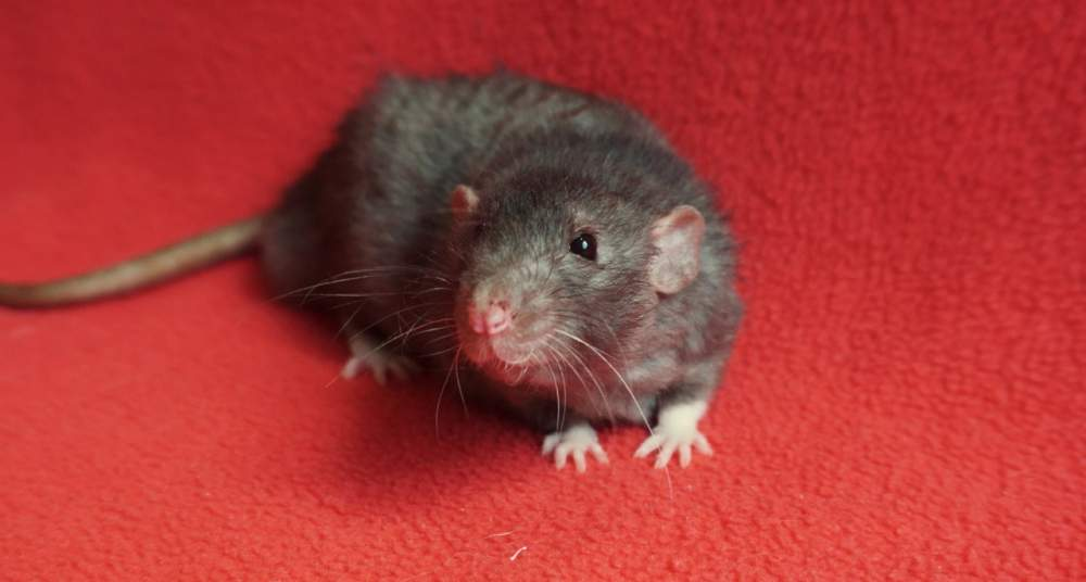 Fancy rat Retired Rattus norvegicus