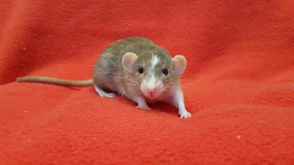 Fancy rat Deceased Rattus norvegicus