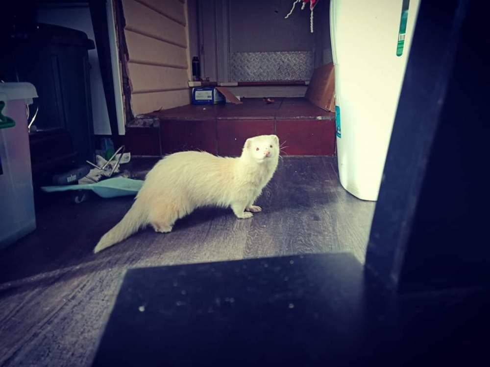 Ferret Pet only Mustela putorius