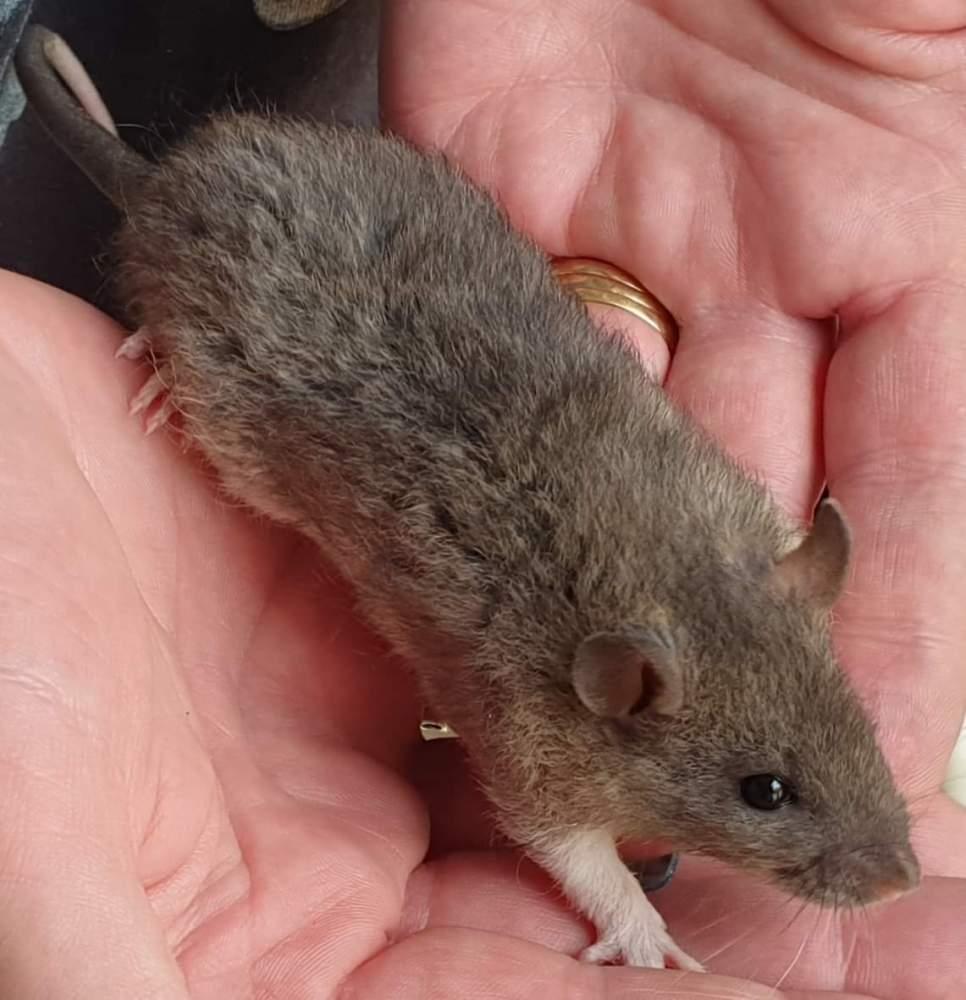 Fancy rat Pet only Rattus norvegicus
